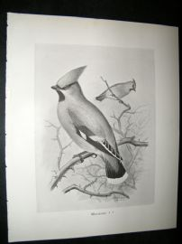 Frohawk 1898 Antique Bird Print. Waxwing